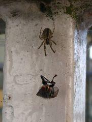 Spinne auf Beutejagd #2 - Spinne, Spinnennetz, Beute, Wespe, gefangen, Nahrung