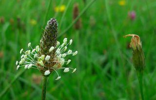 Wegerichblüte - Plantago lanceolata, Wegerich, Spitzwegerich, Blüte, Spießkraut, Lungenblattl, Athelas, Königskraut, Schlangenzunge, mehrjährig, krautig