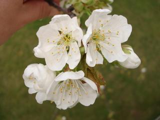 Kirschenblüte - Obstbäume, Natur, Garten, Blüten, Kirsche