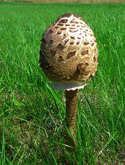 Parasolpilz #1 - Parasol, Pilz, Pilze, Parasolpilz, Macrolepiota procera
