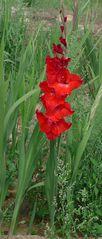 Gladiole - Schwertliliengewächs, Gladiole, Zierpflanze
