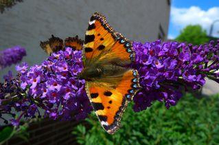 Kleiner Fuchs - Schmetterling, Kleiner Fuchs, Edelfalter Nymphalidae, Aglais urticae, Schmetterlingsflieder