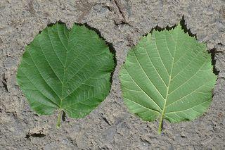 Haselnussblätter - Haselstrauch, Haselnussstrauch, Gemeine Hasel, Birkengewächs, Nuss, Haselnuss, Herbst, einhäusig, Blatt