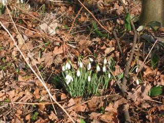 Schneeglöckchen - Schneeglöckchen, Frühblüher, nach dem Winter, Frühling