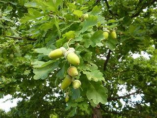 Eicheln am Baum - Herbst, Eiche, Eichel, Eichenblatt, Blatt, Frucht, Stieleiche, gebuchtet, Eichel, Hut, braun, grün, Laubbaum, Wald, gelappt, einhäusig