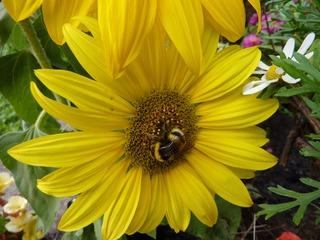 Hummel auf Nektarsuche - Hummel, Hautflügler, staatenbildendes Insekt, gelb-braun, Stachel, Drohnen, Arbeiterinnen, Königin, Sonnenblume, Korbblütler, groß, gelb