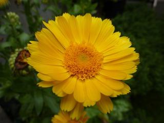 Ringelblume - Ringelblume, Garten-Ringelblume, Korbblütler, Heilpflanze