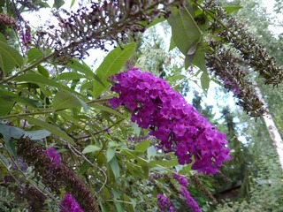 Schmetterlingsflieder - Schmetterlingsflieder, Sommerflieder, Schmetterlingsstrauch, Fliederspeer, Blütenstand, Rispe, Zierpflanze