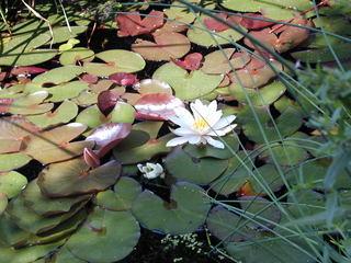 Seerose - Landschaft, Garten, Teich, Seerose