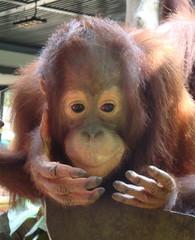 Orang Utan_5 - Sumatra, Borneo, Primaten, Affen, Menschenaffen, rotbraunes Fell, Trockennasenaffe, Pflanzenfresser, Asien, Südostasien, Säugetier