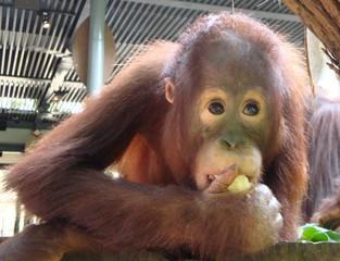 Orang Utan_6 - Sumatra, Borneo, Primaten, Affen, Menschenaffen, rotbraunes Fell, Trockennasenaffe, Pflanzenfresser, Asien, Südostasien, Säugetier, Nahrungsaufnahme, fressen