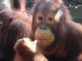 Orang Utan_7 - Sumatra, Borneo, Primaten, Affen, Menschenaffen, rotbraunes Fell, Trockennasenaffe, Pflanzenfresser, Asien, Südostasien, Säugetier