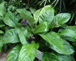Orchidee_10 - Orchidee, Orchideen, Blüte, Blüten, Stempel, Pflanze, Pflanzen, Blume, Blumen, Black Lily