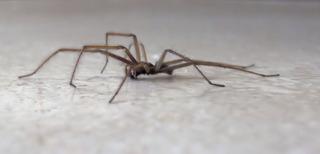 Hausspinne #2 - Spinne, Schreibanlass, Gliederfüßer, Spinnentiere, Häutungstiere, Ekel, krabbeln, acht, Beine, haarig, Haare, Hausspinne, Winkelspinne
