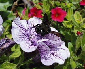 Holzbiene auf Blüte - Biene, Holzbiene, Blüte, Garten, Insekt