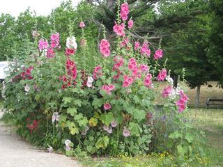 Stockrosen - Stockrose, Blüte, Garten, Sommer, Blume, Bauernrose, Stockmalve, Staude, Bauerngarten, Heilpflanze, Malvengewächs