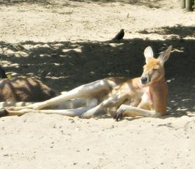 Känguru - Känguru, Beuteltier