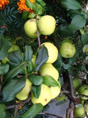 Zierapfel - Zierapfel, Kirschapfel, Beerenapfel, Kernobstgewächs, Rosengewächs