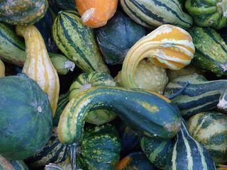 Zierkürbisse #1 - Kürbis, Gartenpflanze, Pflanze, Kürbisgewächs, Zierkürbis, Gartenkürbis