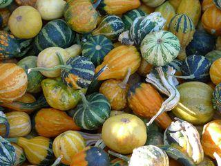 Zierkürbisse #2 - Kürbis, Gartenpflanze, Pflanze, Kürbisgewächs, Zierkürbis, Gartenkürbis