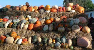 Kürbisse - Kürbis, Gartenpflanze, Pflanze, Kürbisgewächs, Gemüsekürbis, Gartenkürbis