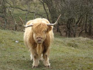 Schottisches Hochlandrind - Highland, Cattle, Kuh, Rind, Wiese, Schottland, Nutzvieh, Hochlandrind, Hörner, zottelig, Fell