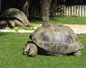 Riesenschildkröte - Schildkröte, Landschildkröte, Reptil, Panzer, Schuppen, Winterruhe, langsam, Keratin, bedroht, Schildpatt, Artenschutz, Washingtoner Abkommen