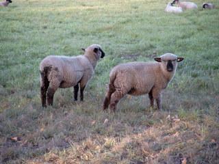 Schafe auf der Wiese - Schafe, Tiere, zwei, Lamm, Wiese, Weide, Nutztier