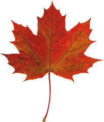 Ahornblatt - Ahorn, Spitzahorn, Ahornblatt, Herbstlaub, Laub, Laubblatt, Blatt, Blätter Herbst, Herbstfärbung, rot