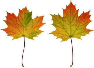 Ahornblätter - Ahorn, Spitzahorn, Ahornblatt, Ahornblätter, Herbstlaub, Laub, Laubblatt, Blatt, Blätter Herbst, Herbstfärbung