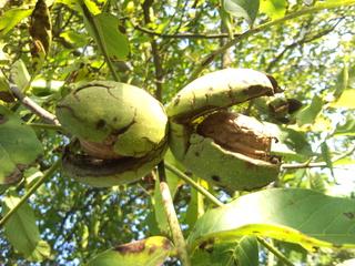 Walnuss 2 - Walnuss, Nuss, Natur, heimische Pflanzen, Nahrungsmittel, Baum, Laubbaum, Frucht, Nussbaum, unreif, Umhüllung, Blätter