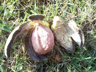 Walnuss 3 - Walnuss, Nuss, Natur, heimische Pflanzen, Nahrungsmittel, Baum, Laubbaum, Frucht, Nussbaum, unreif, Umhüllung, Blätter
