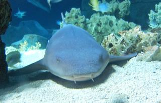 Ammenhai - Ammenhai, Hai, Knorpelfisch, Fisch, Raubfisch, Tier, Lebewesen, Meer, Aquarium, Maul, Barteln, Wasser