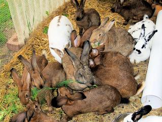 Kaninchen #1 - Kaninchen, Hase, Hasenartige, Haustier, Freilauf, Pflanzenfresser, Leporidae, Karnickel, Nagetier, Fell, Ohren, braun, weiß, schwarz, fressen, zählen