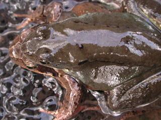 Grasfrösche Paarung - Frösche, Frosch, Laich, Froschlaich, Grasfrosch, Paarung, Amphibien, Amphibie