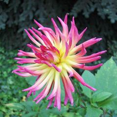 Dahlie #2 - Dahlie, Dahlia, Blume, Blüte, Pflanze, Zierpflanze, Gartenpflanze, Natur, Garten, Herbst, Knollenpflanze, pink, gelb, weiß, Strahlen, Dahlie Poetic