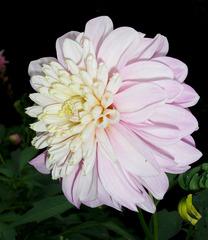 Dahlie #3 - Dahlie, Dahlia, Blume, Blüte, Pflanze, Zierpflanze, Gartenpflanze, Natur, Garten, Herbst, Knollenpflanze, rosa, weiß