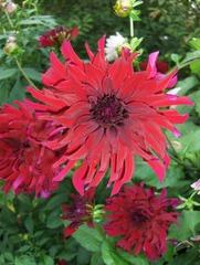 Dahlie #4 - Dahlie, Dahlia, Blume, Blüte, Pflanze, Zierpflanze, Gartenpflanze, Natur, Garten, Herbst, Knollenpflanze, rot, Dahlie Doris Day