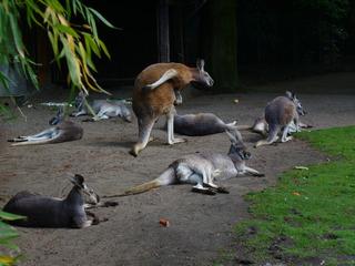 Kängurus  - Tierpark, Kängurugruppe, Beuteltiere