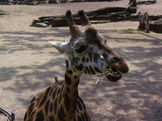 Giraffe - Wildtier, Zootier, Giraffe, Pflanzenfresser, Afrika, Paarhufer, Wiederkäuer, Tarnung, Camouflage