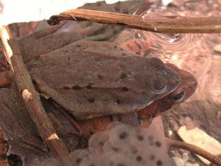 Grasfrösche bei der Paarung - Frösche, Frosch, Laich, Froschlaich, Grasfrosch, Paarung, Tarnung, braun, Amphibie, Amphibien