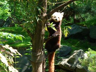 Kleiner Panda - kleiner Panda, Rote Panda, Katzenbär, Raubtier, klettern