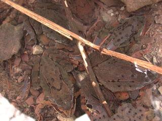 Grasfrösche - Frösche, Frosch, Laich, Froschlaich, Grasfrosch, Paarung, Tarnung, braun, Amphibie, Amphibien