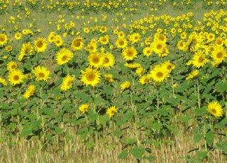 Sonnenblumenfeld - Feld, Sonnenblumen, Sonne, gelb, Korbblütler
