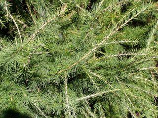 Lärche - Lärche, Nadelbaum, Kieferngewächs, Pinaceae, Nadel, Büschel