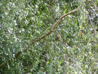 Birkenblätter - Birke, Blätter, Stamm, Suchbild, Vögel, Vogel, Blatt, Laub, grün, Baum, Laubbaum