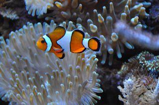 Falscher Clownfisch - Clownfisch, Fisch, Nemo, Wasser, schwimmen, Anemonenfisch, Barschartige, Riffbarsche, Stachelflosser, Riff, Koralle