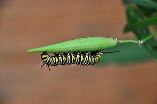 Schmetterlinsraupe - Monarch, Schmetterling, Falter, Raupe, Metamorphose, Verwandlung, kriechen