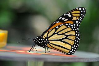 Monarch - Monarch, Schmetterling, Falter, Danaus plexippus, symmetrisch, fliegen