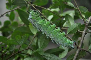 Raupe - Atlas Seidenspinner - Atlas Seidenspinner, Attacus atlas, Raupe, Schmetterling, Falter, Metamorphose, Verwandlung, fressen, kriechen